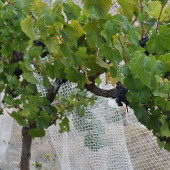Pinot Noir plants in low yield vineyard
