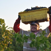 Hand Harvesting a 1904 Vineyard: Lizzie James Zinfandel, Lodi