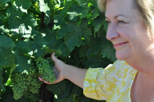 Inspecting Grenache Blanc at Acquiesce