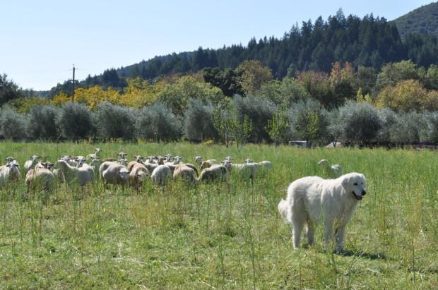 Giuseppe and his ewes
